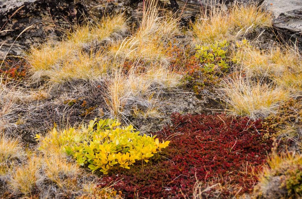 Inlandsisen - national flower (6942 Bjorn)