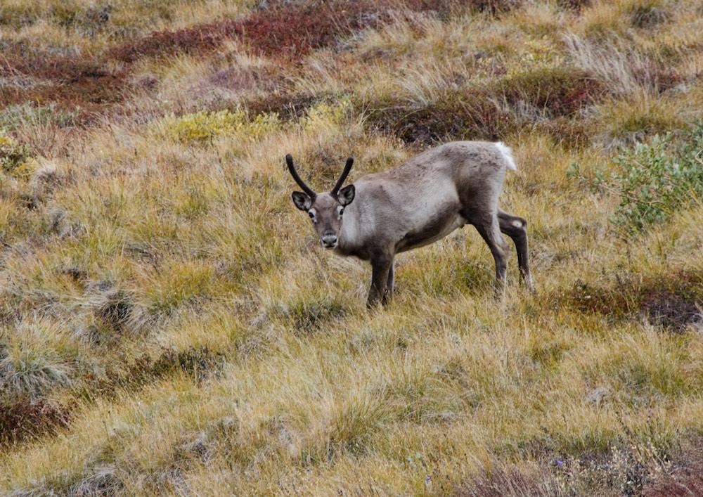 Inlandsisen - reindeer 1 (7181 Bjorn)