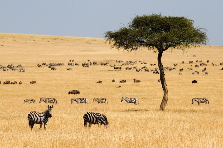 Afrikanska savannen (erichon)