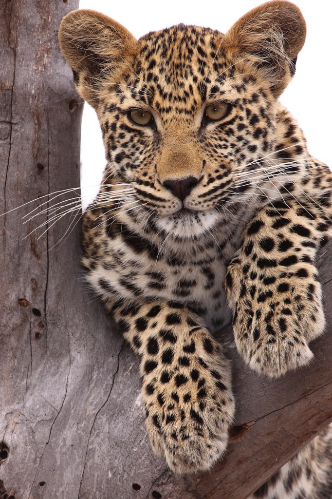 Leopardunge (Dave Pusey)