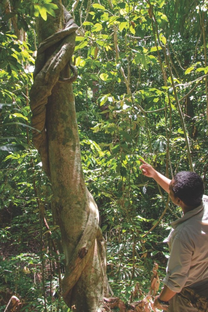 BestOfBorneo - 3 Gaya Island rainforest walk (DSC_4685 B)