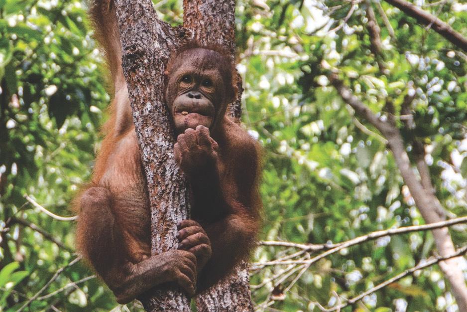 BestOfBorneo - 4 ShangriLa orangutang C (DSC_5146 C)