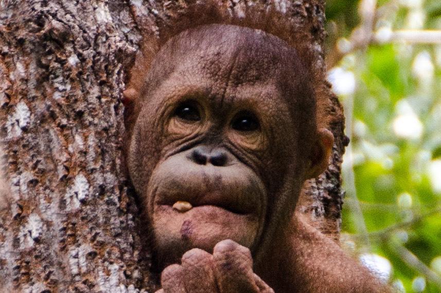 BestOfBorneo - 4 ShangriLa orangutang E (DSC_5146 E)