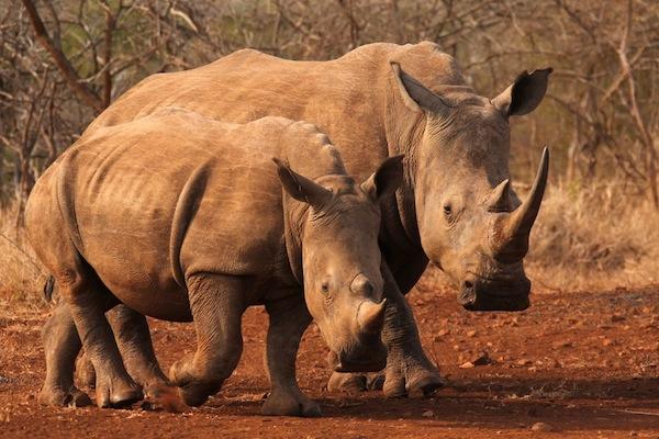 FC Safari - Thanda rhino kopia