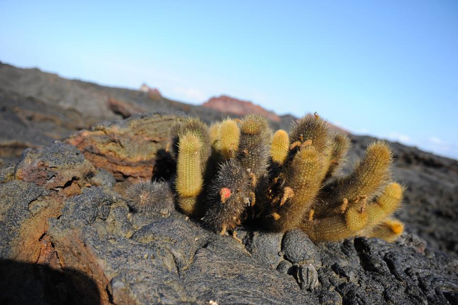 Favoritbild Lava kaktus