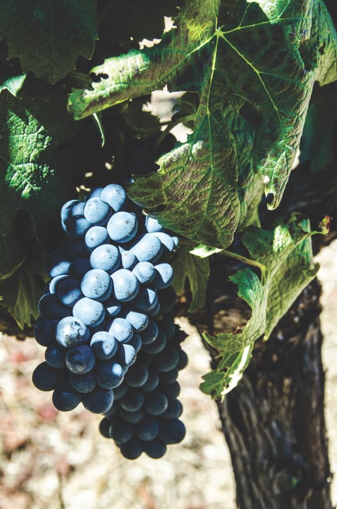 Flytten till Afrika - grapes (DSC_9022)