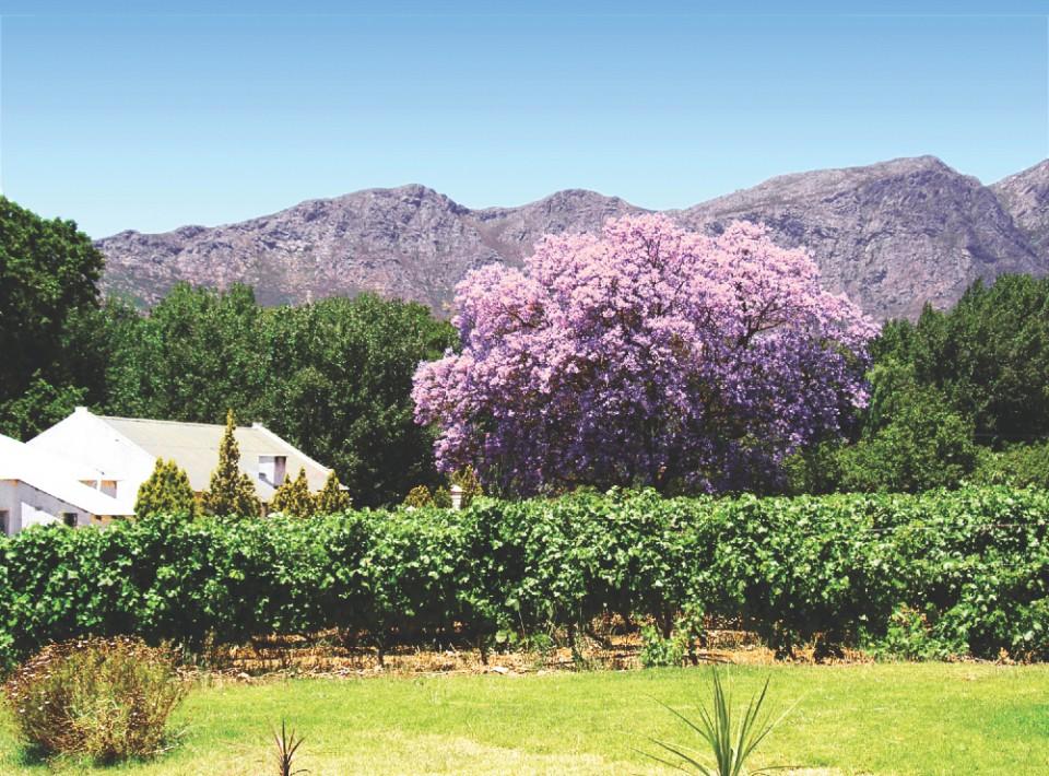 Flytten till Afrika - jacaranda tree & vine (IMG_0777)