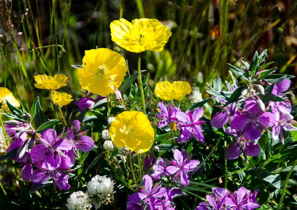 Grönlandskryssning - flowers (4823 Bjorn)
