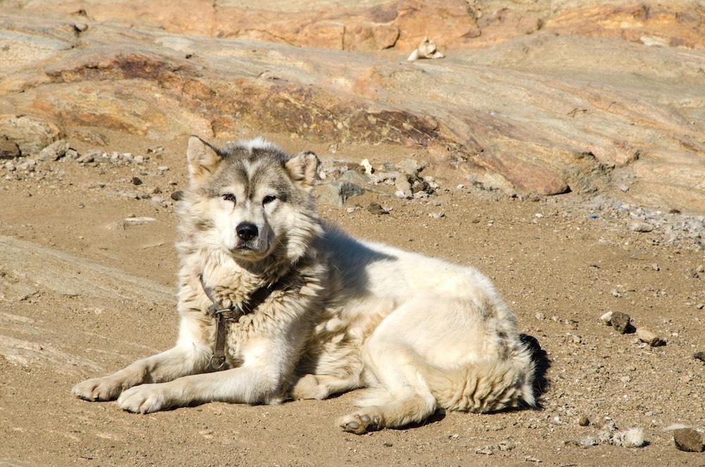 Grönlandskryssning - greenlandic dog (6027 Bjorn)