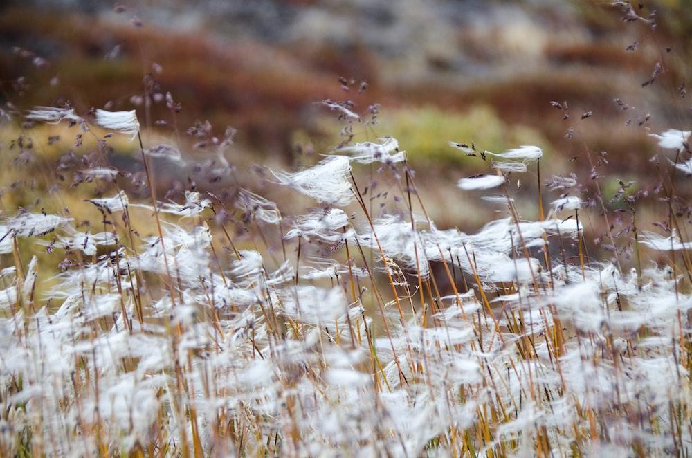 Inlandsisen - cotton grass 2 (6945B Bjorn)