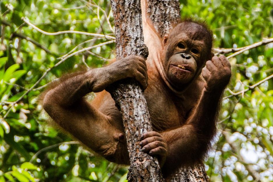 Kryssning-orangutang 6 (DSC_5148)