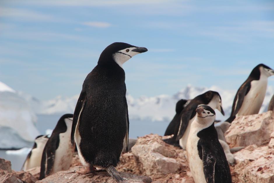 (Flera pingvinarteriRosshavet skyddas nu från jakt.)